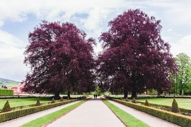Duas grandes árvores com folhagem roxa no parque