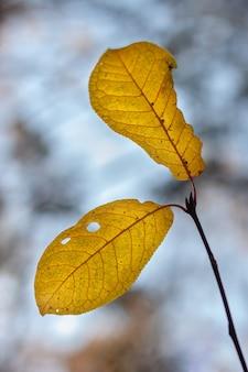 Duas grandes belas folhas de outono em um galho contra um céu azul com profundidade de campo rasa com um fundo desfocado. vertical.
