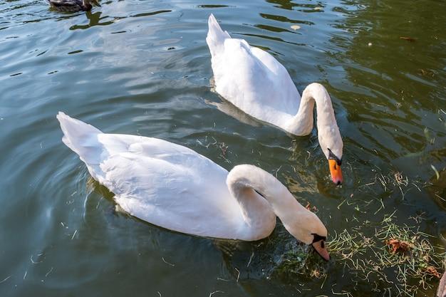 Duas grandes cisnes brancas nadando na superfície de um lago de água do rio.