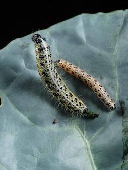 Duas lagartas de repolho sentam-se em uma folha de repolho. danos às colheitas, pragas.