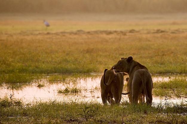 Duas leoas estão passando pelo pântano em um vau