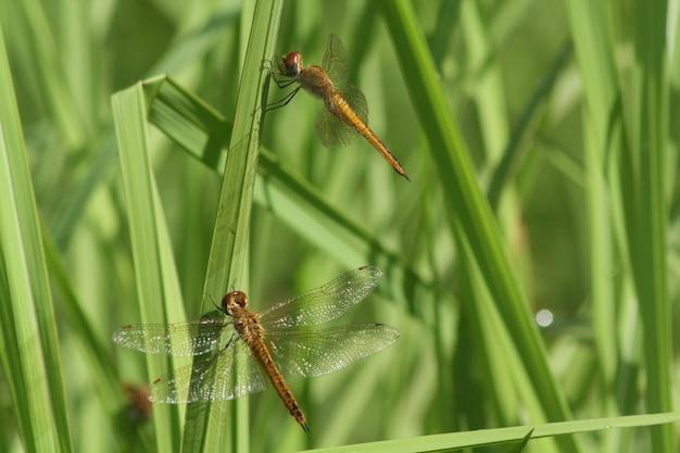 Duas libélulas nas folhas