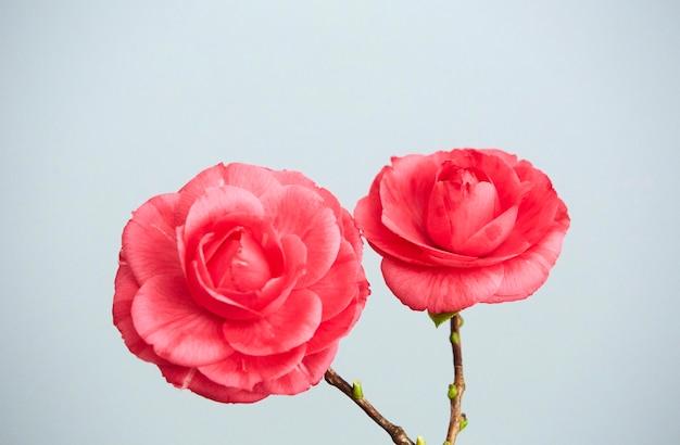Duas lindas camélias rosa