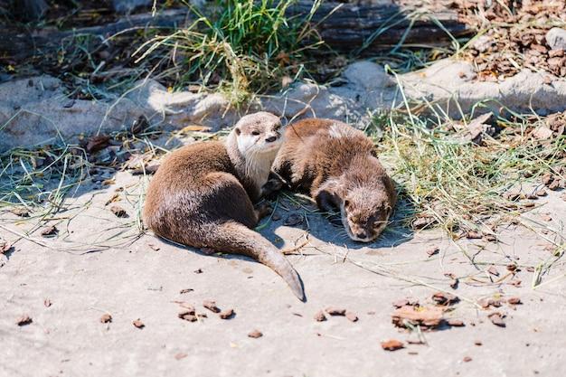 Duas lindas lontras de rio relaxando no zoológico