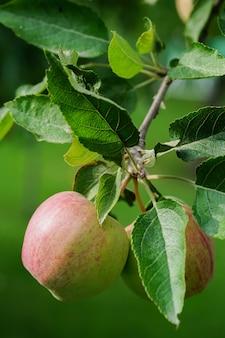 Duas maçãs em um galho de árvore, conceito de tempo de colheita. foto de alta qualidade