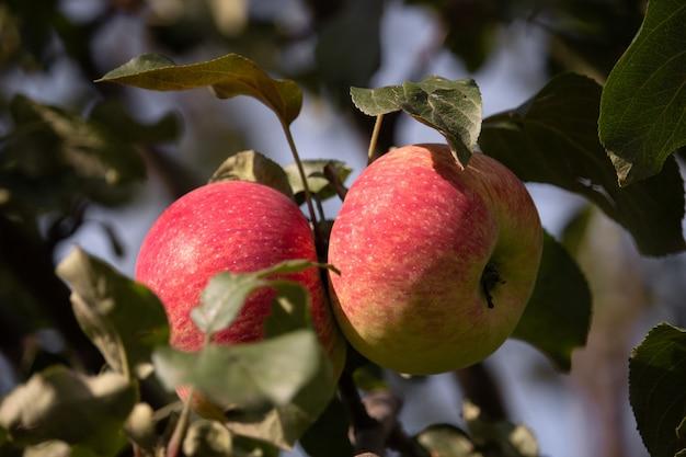 Duas maçãs maduras suculentas em um galho. feche a foto. frutas saudáveis da fazenda na temporada de colheita da maçã