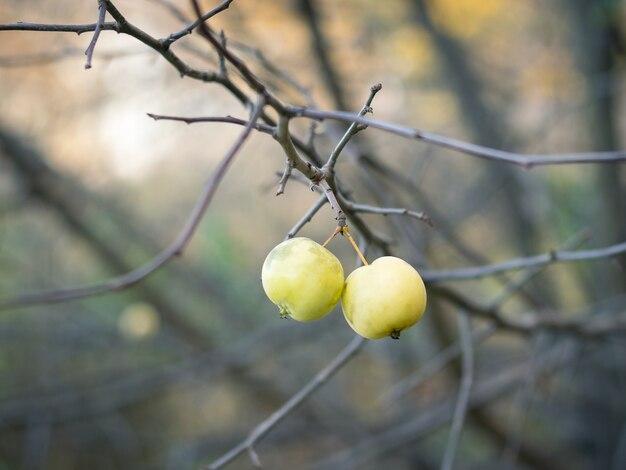 Duas maçãs verdes nos galhos sem folhas no outono park.