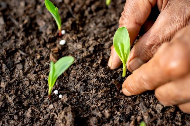 Duas mãos de homens agrícolas estão plantando mudas de milho.