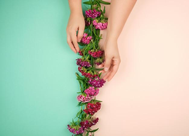 Duas mãos femininas com pele lisa suave e botões de um cravo turco florescimento