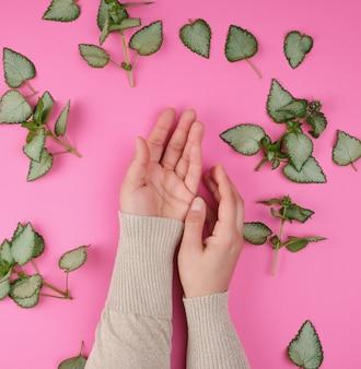 Duas mãos femininas e folhas verdes frescas de uma planta em um fundo rosa