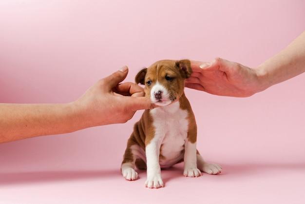 Duas mãos tocam focinho de cachorro basenji