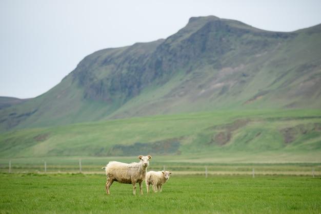 Duas ovelhas brancas em um pasto na islândia. prado com grama verde exuberante em um vale montanhoso