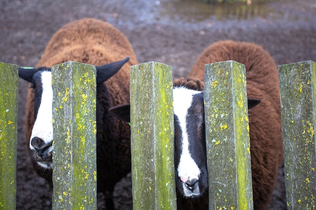 Duas ovelhas marrons atrás de uma cerca de madeira em uma fazenda, beleza da natureza