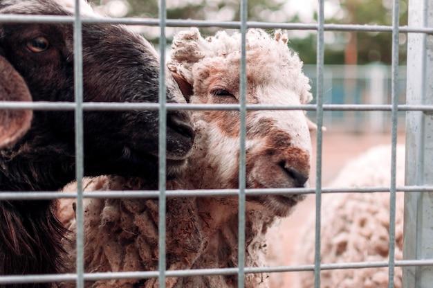 Duas ovelhas olham pela rede do curral da fazenda, retrato. os mamíferos estão no zoológico. animais famintos. foco seletivo.