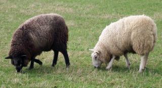 Duas ovelhas pequeninas bonny