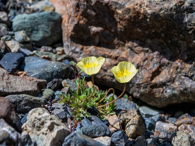 Duas papoilas amarelas da montanha, vista superior. arbustos de flores de papoula amarelas exuberantes. fechar-se.