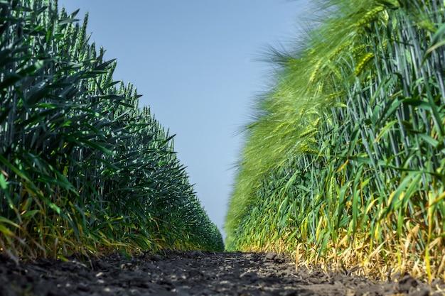 Duas paredes de plantas perfeitamente lisas e semelhantes de trigo e cevada, como dois exércitos