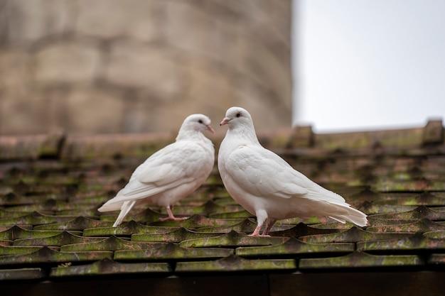 Duas pombas brancas sentado em um telhado velho em uma vila de montanha perto da cidade de danang, vietnã. fechar-se