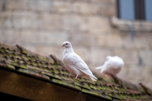 Duas pombas brancas, sentado em um velho telhas em uma aldeia de montanha