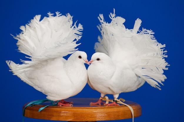 Duas pombas brancas sentam-se no calçadão em uma parede azul, um símbolo de pureza e amor, copie o espaço.