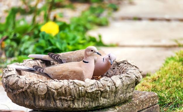 Duas pombas-de-colar empoleiradas em um vaso alimentador de pássaros no jardim