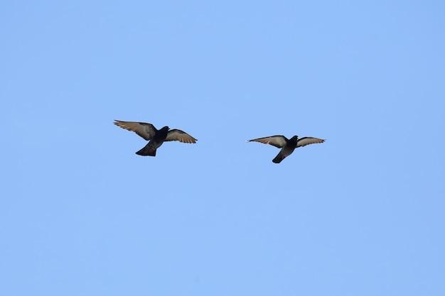 Duas pombas voam no céu azul