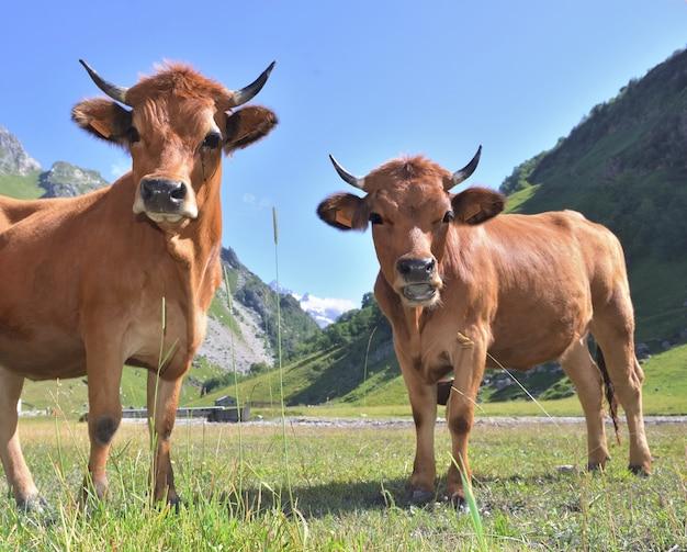 Duas vacas jovens alpinas marrons no pasto