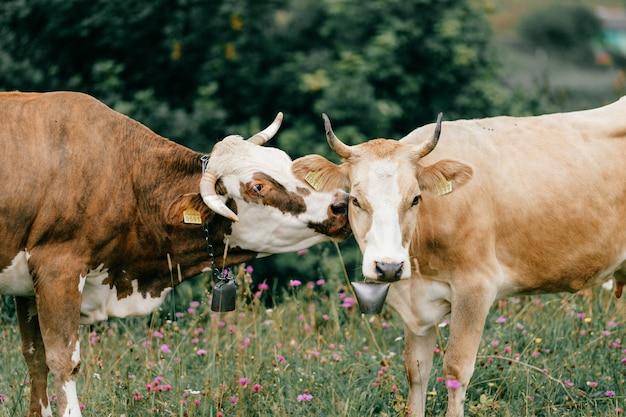 Duas vacas malhadas engraçadas beijando no pasto nas montanhas