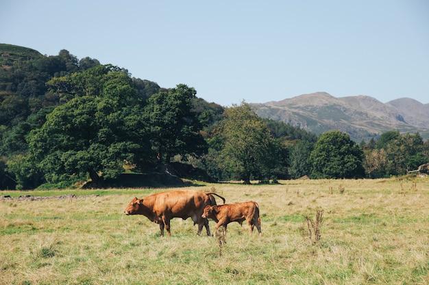 Duas vacas marrons pastando em um prado nas montanhas da inglaterra