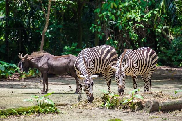 Duas zebras comendo e um gnu antílope em pé