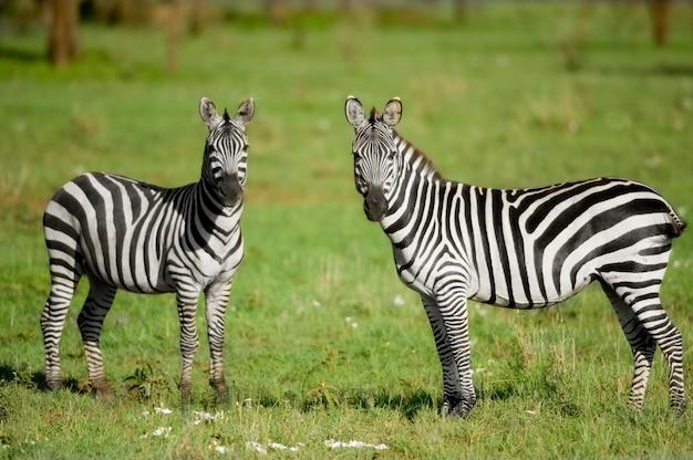 Duas zebras no serengeti