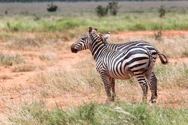 Duas zebras paradas na vasta paisagem de uma savana
