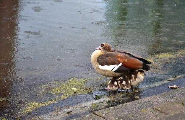 Duck esconde patinhos da chuva em um parque público. fundo bonito.