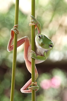 Dumpy em ação, green tree frog on stick