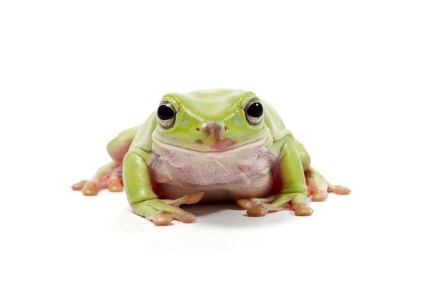 Dumpy green tree frog no fundo branco
