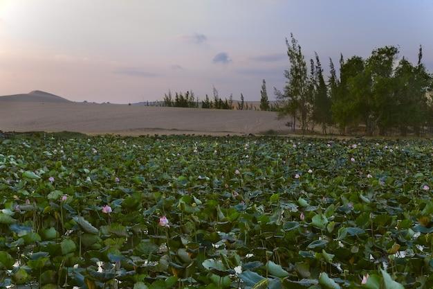 Dunas de areia branca e lago com lótus