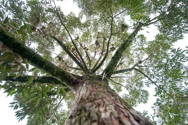 Durian está na fase de rendimento. tirada de debaixo da árvore no pomar de frutas, província de chanthaburi, tailândia