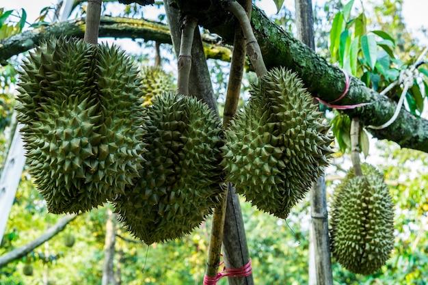 Durian na árvore