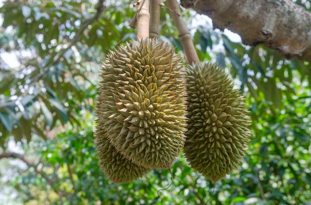 Durian no rendimento dos pomares