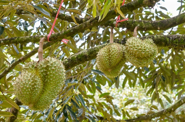 Durian ou durio zibethinus rei das frutas tropicais penduradas na árvore em uma plantação, indústria agrícola e cultivo de pomar na tailândia