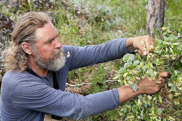 É hora de colher, farmer está colhendo flor medicinal de tília do galho.