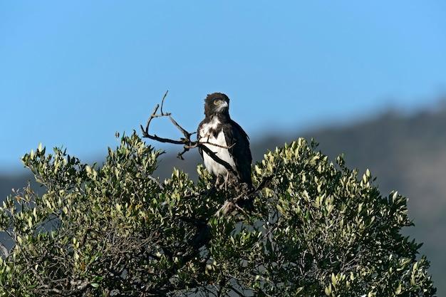 Eagle no parque nacional de nakuru. quênia, áfrica