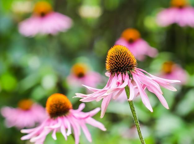 Echinacea purpurea coneflower lindas flores roxas com um centro laranja no jardim