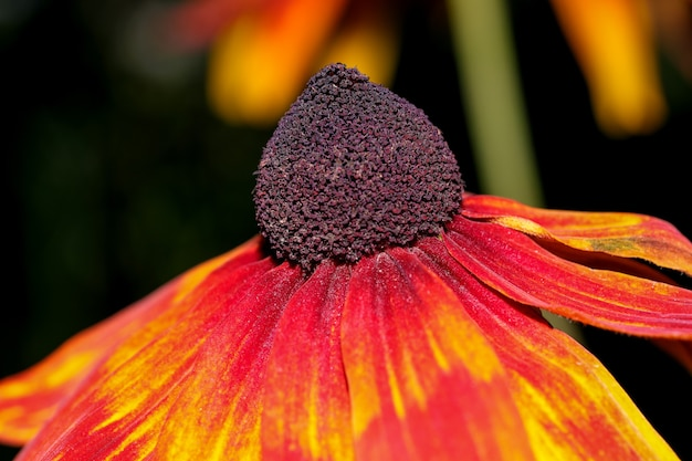 Echinacea purpurea floresce ensolarado dia de outono close-up