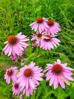 Echinacea purpurea ou coneflower roxo