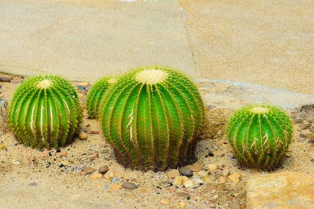 Echinocactus grusonii ou bem conhecido em golden barrel cactus