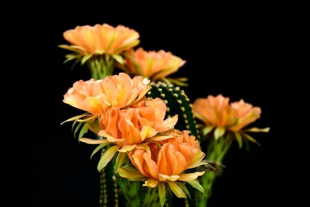 Echinopsis híbrido orange paramount.