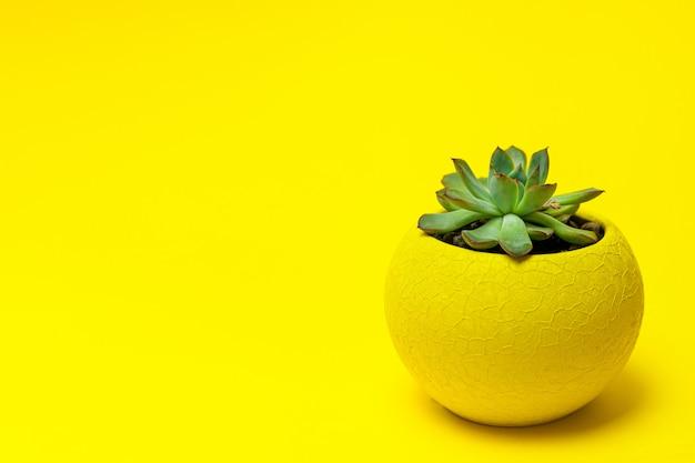 Echiveria em um pote amarelo sobre fundo amarelo