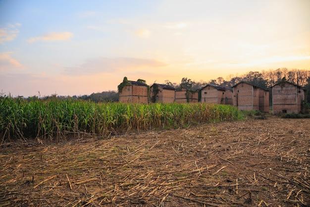Edifícios abandonados em um campo de milho