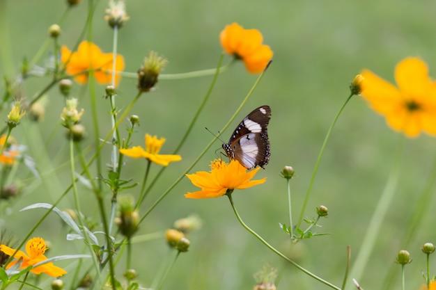 Eggfly borboleta na flor em seu habitat natural